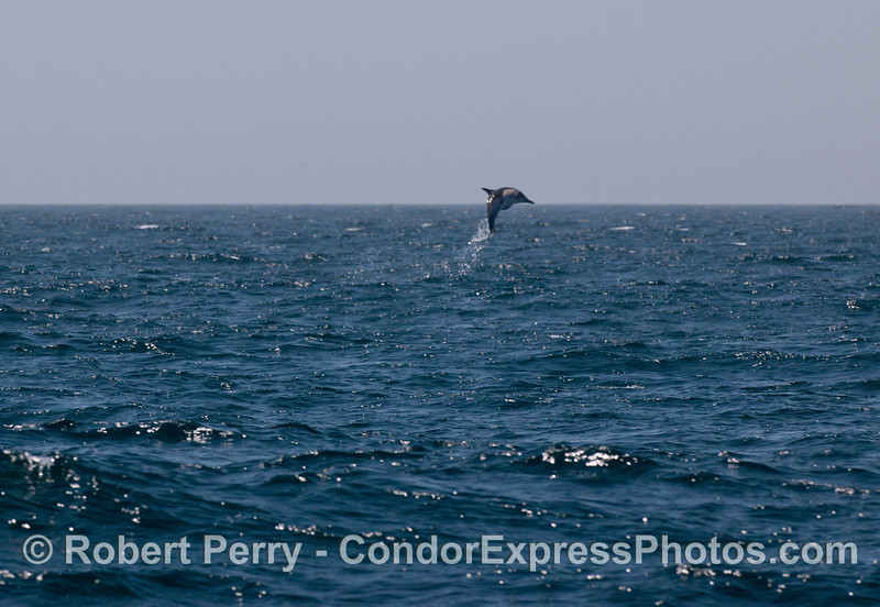 High flyer!  A long-beaked common dolphin (<em>Delphinus capensis</em>) leaps high in the sky.