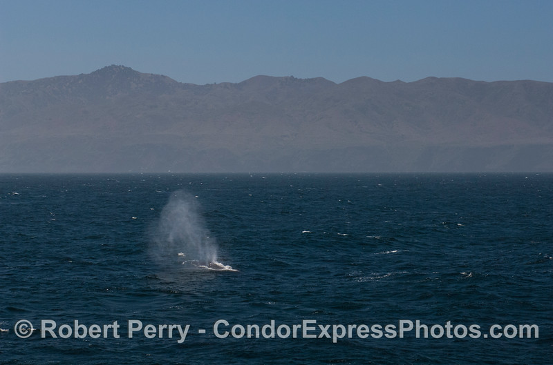 Santa Cruz Island in the background frames the bushy spout of a humpback whale (<em>Megaptera novaengliae</em>).