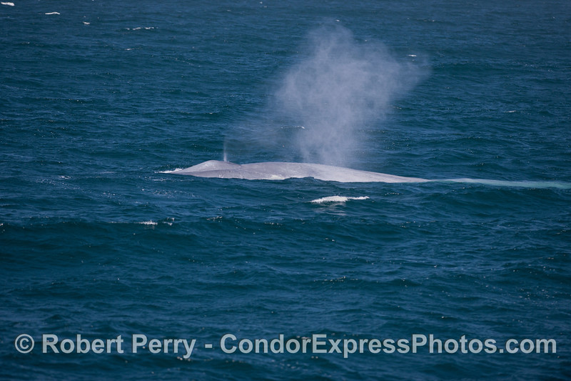 Image sequence 2 of 2:  A giant blue whale (<em>Balaenoptera musculus</em>) spouts in the wind.