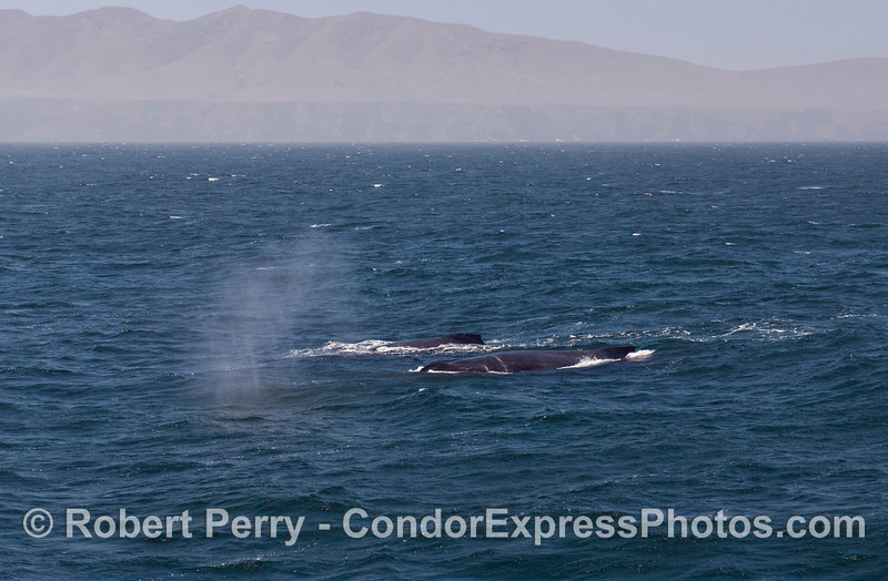 "Two humpback whales (<em>Megaptera novaengliae</em>) side by side.  The nearest whale is our friend ""Rope."""