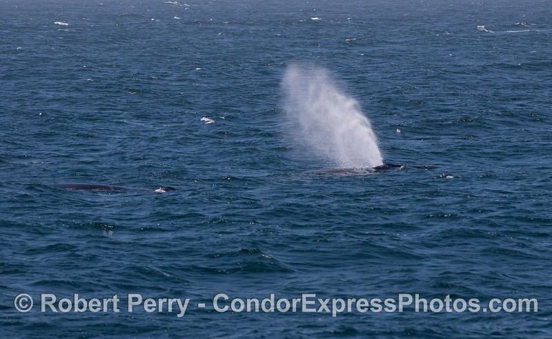 A humpback whale (<em>Megaptera novaengliae</em>) spouts in the wind.