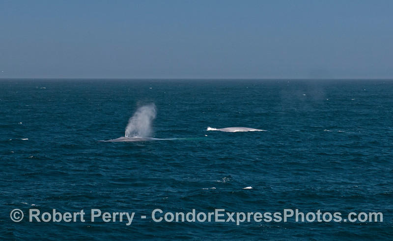 Two giant blue whales (<em>Balaenoptera musculus</em>).