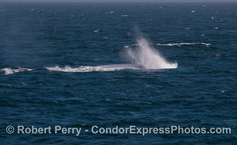 """""""The Bubbler,""""  giant blue whale (<em>Balaenoptera musculus</em>) with its unique blast of air on a deep dive."""
