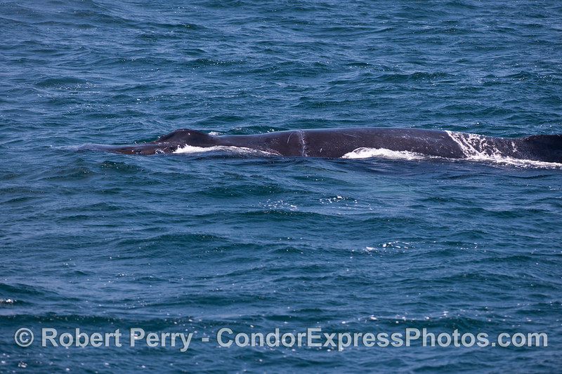 "A look at our friend ""Rope,"" the humpback whale (<em>Megaptera novaengliae</em>) with an entanglement scar."