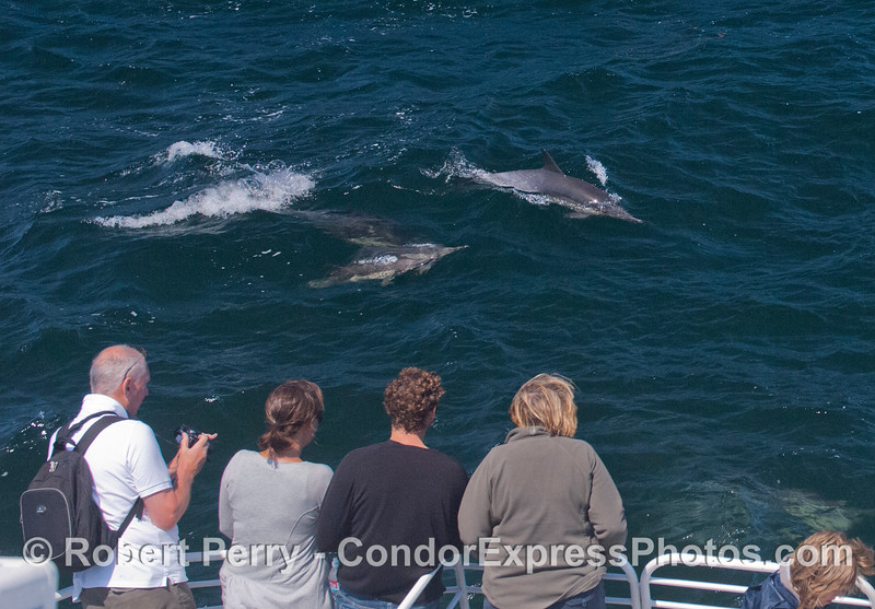 A herd of long-beaked common dolphins (<em>Delphinus capensis</em>) visit the Condor Express.