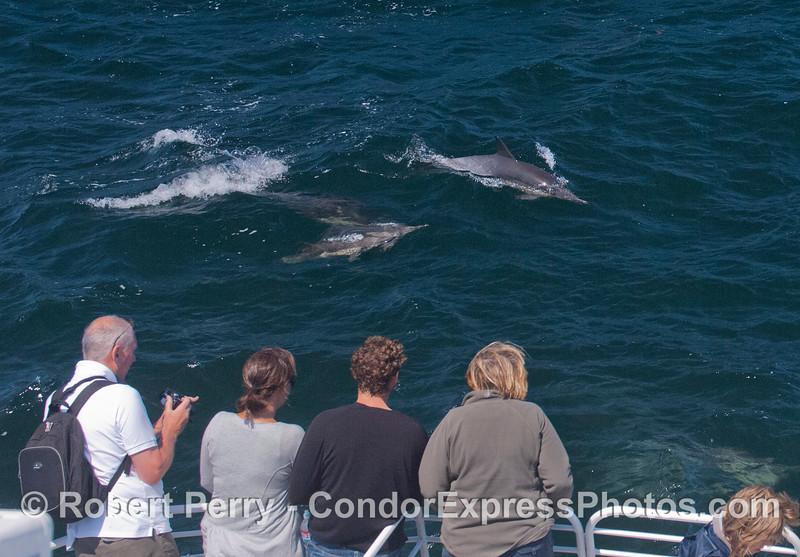 A herd of long-beaked common dolphins (<em>Delphinus capensis</em>) visit the Condor Express.