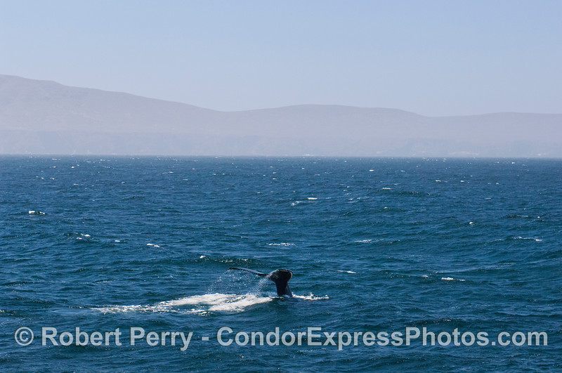 A humpback whale (<em>Megaptera novaengliae</em>) kicks up its tail flukes.  Santa Cruz Island is seen in the back.