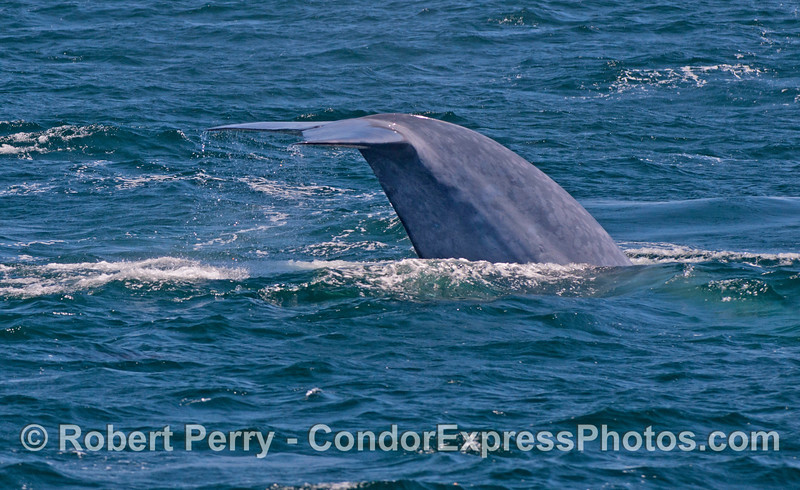 Image sequence 1 of 2:  A giant blue whale (<em>Balaenoptera musculus</em>) flukes up.