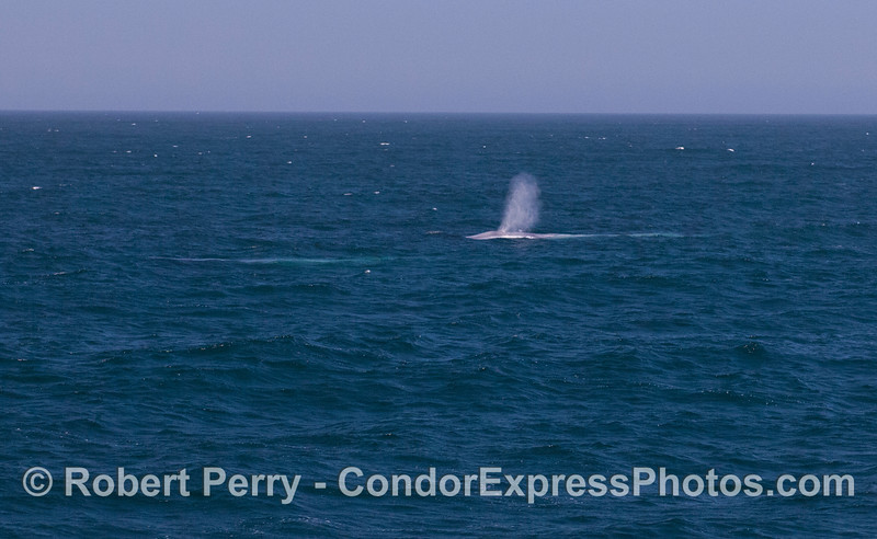 Two giant blue whales (<em>Balaenoptera musculus</em>)...one still underwater but visible as a blue streak.