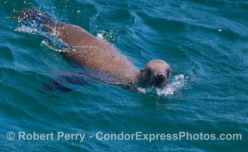 A playful California sea lion (<em>Zalophus californianus</em>).