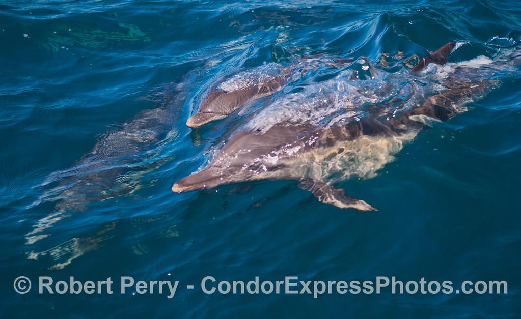 Delphinus capensis cow calf 2012 08-09 SB Channel-033
