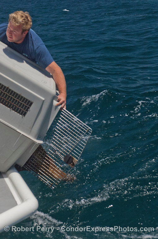 Deck hand Matt coaxes a rehabilitated California sea lion (<em>Zalophus californianus</em>) out of its kennel and back home to the clear blue waters of Santa Cruz Island.  Two animals were nursed back to health and released today by the non-profit CIMWI (Channel Islands Marine & Wildlife Institute).  For more information visit their website at:   http://www.cimwi.org
