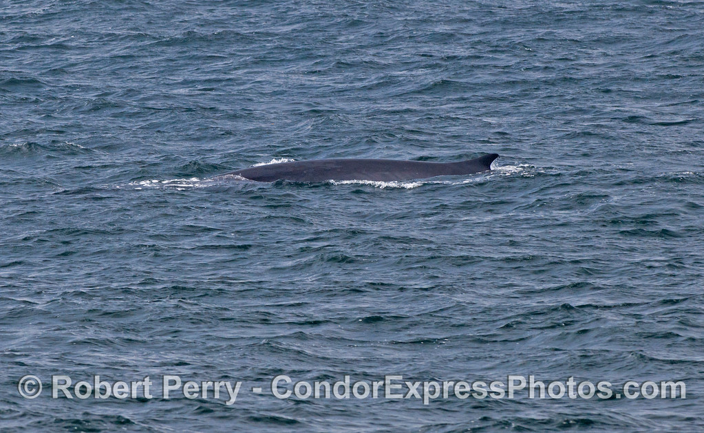 The second largest whale in the world is the fin whale (<em>Balaenoptera physalus</em>).