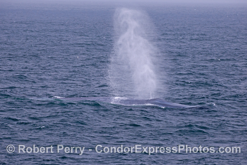 A thirty foot (10m) tall spout from a giant blue whale (<em>Balaenoptera musculus</em>).