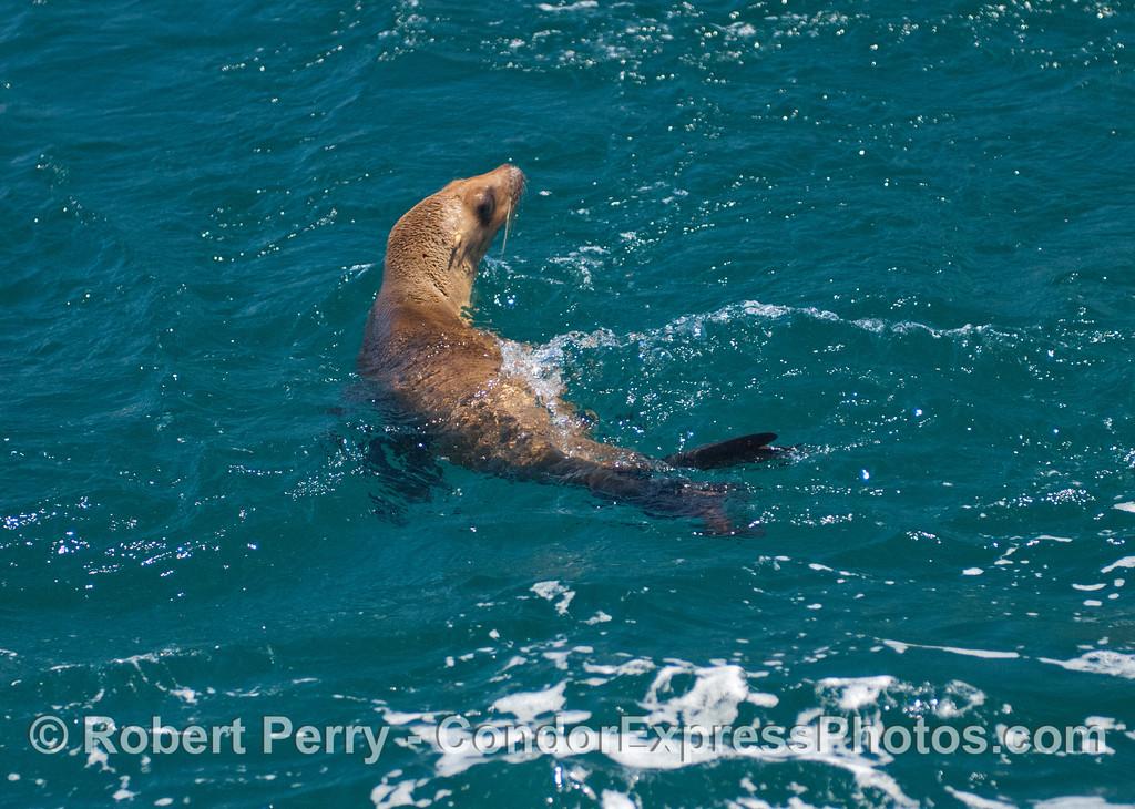 A rehabilitated California sea lion (<em>Zalophus californianus</em>) swims free again!
