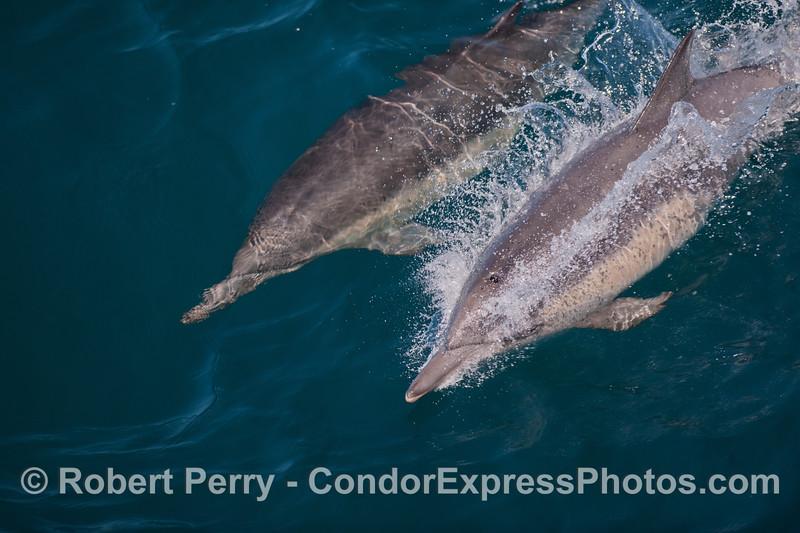Delphinus capensis 2012 08-09 SB Channel-004