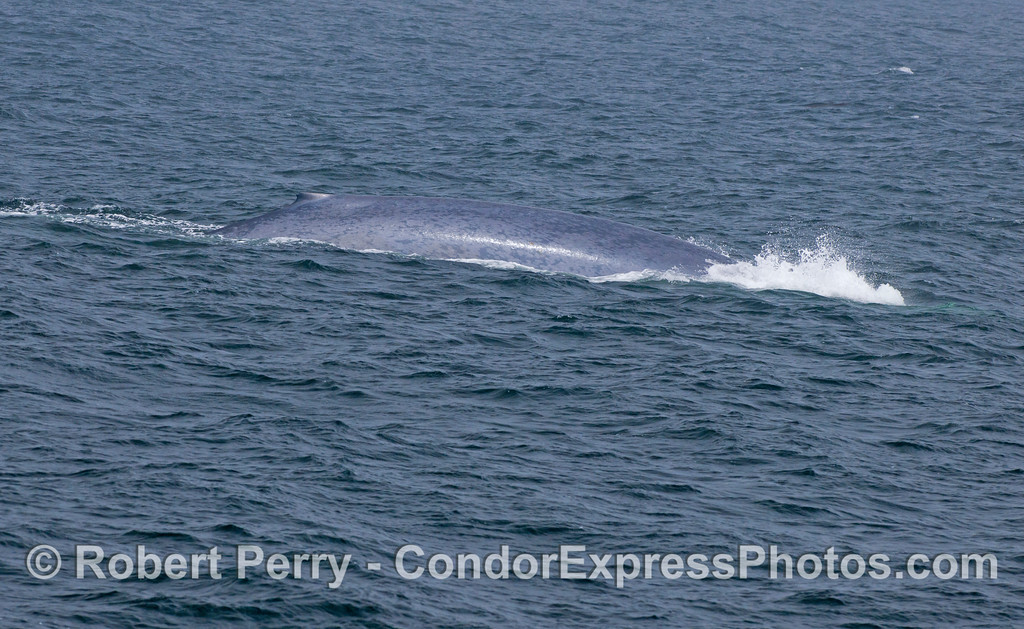 "This blue whale (<em>Balaenoptera musculus</em>) we call ""Bubbles"" because it sends out this unique air blast just prior to its deep dive."