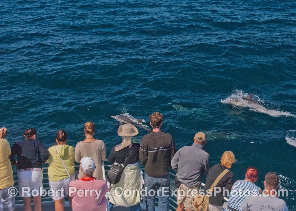 Delphinus capensis & passengers 2012 08-09 SB Channel-a-010