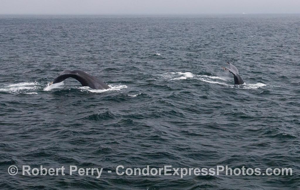 Two tail flukes at once - humpback whales (<em>Megaptera novaeangliae</em>).