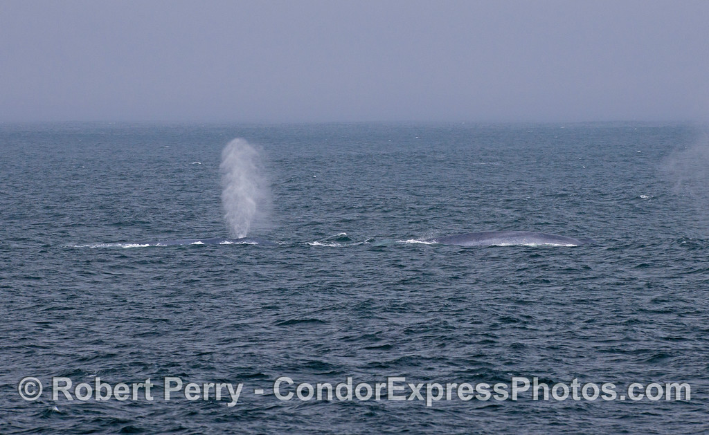 Two giant blue whales (<em>Balaenoptera musculus</em>) spout in the breeze.