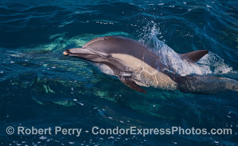 A leaping long-beaked common dolphins (<em>Delphinus capensis</em>).