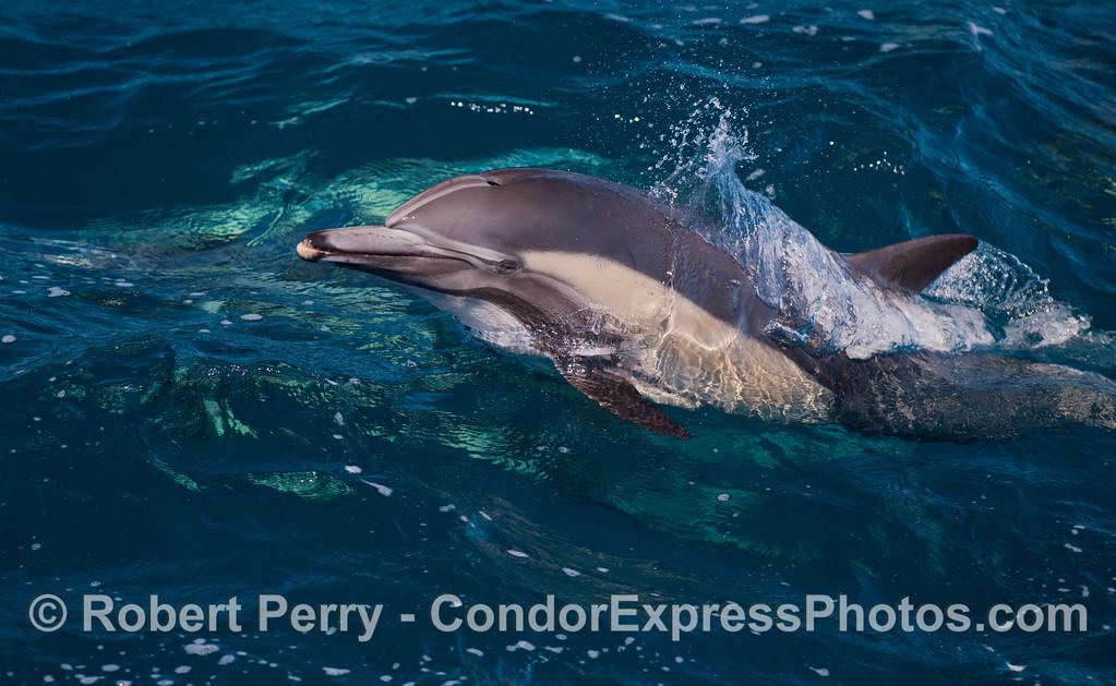 A leaping long-beaked common dolphins (<em>Delphinus capensis</em>).