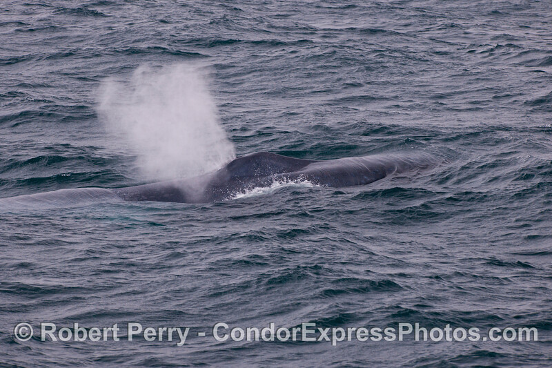 A giant blue whale (<em>Balaenoptera musculus</em>) spouts close to the Condor Express.
