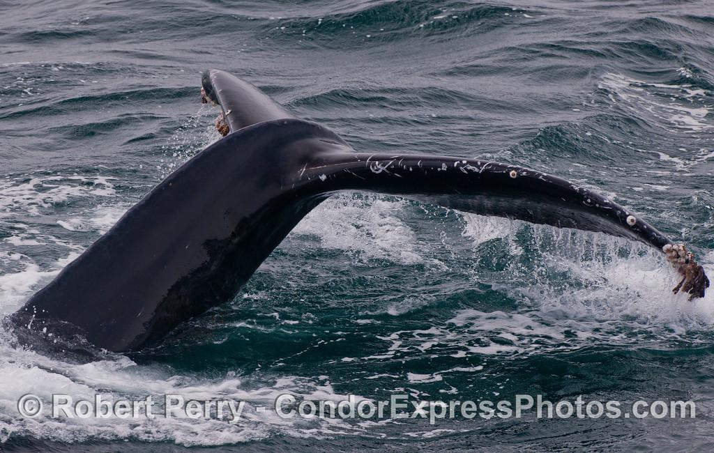 A very close look at a mighty humpback whale (<em>Megaptera novaeangliae</em>) tail.