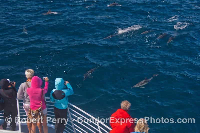 Dolphin fans on the Condor Express get a great look at a pod of long-beaked common dolphins (<em>Delphinus capensis</em>).