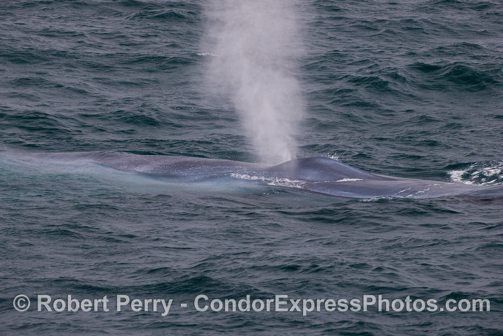 Another mighty spout from a friendly blue whale (<em>Balaenoptera musculus</em>).