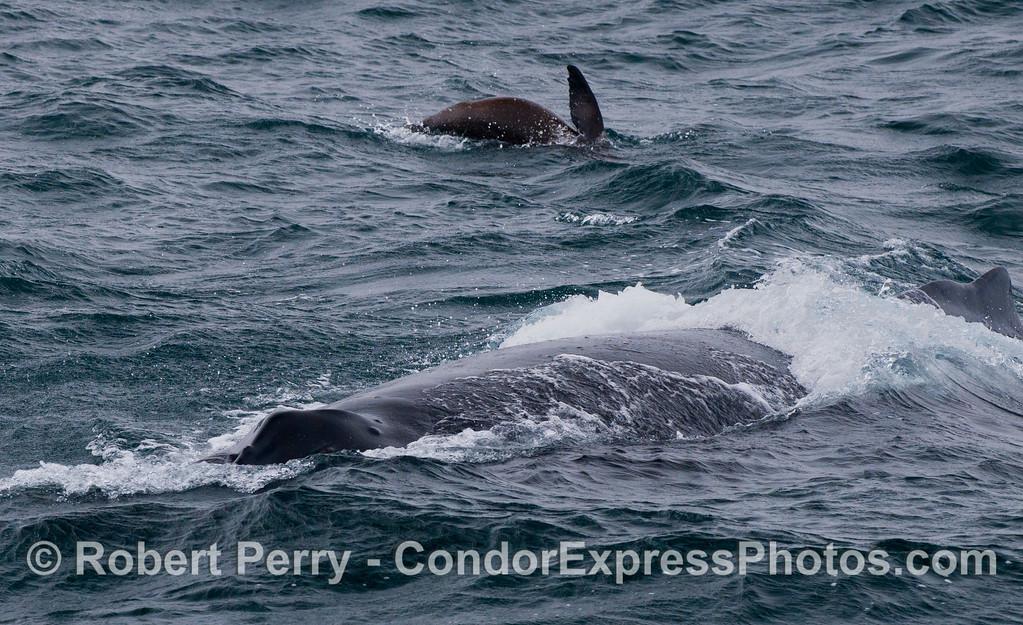 A humpback whale (<em>Megaptera novaeangliae</em>) and a California sea lion (<em>Zalophus californianus</em>).