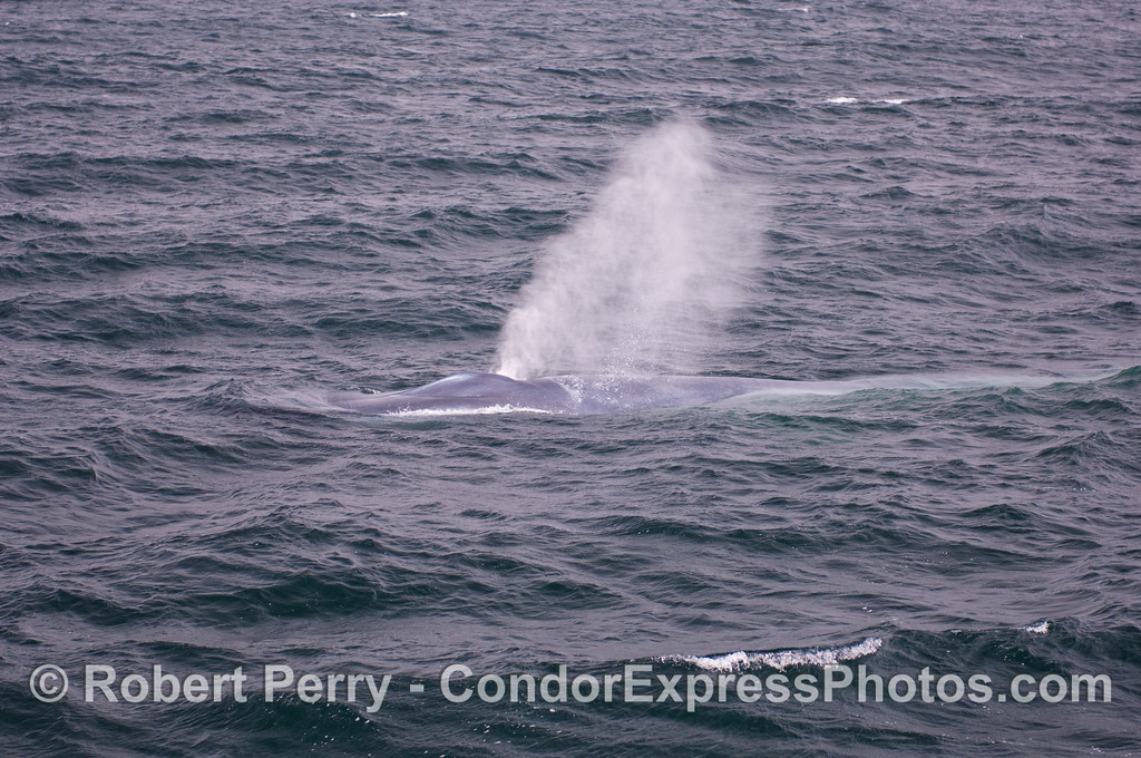 A giant blue whale (<em>Balaenoptera musculus</em>) heads for the camera and spouts.