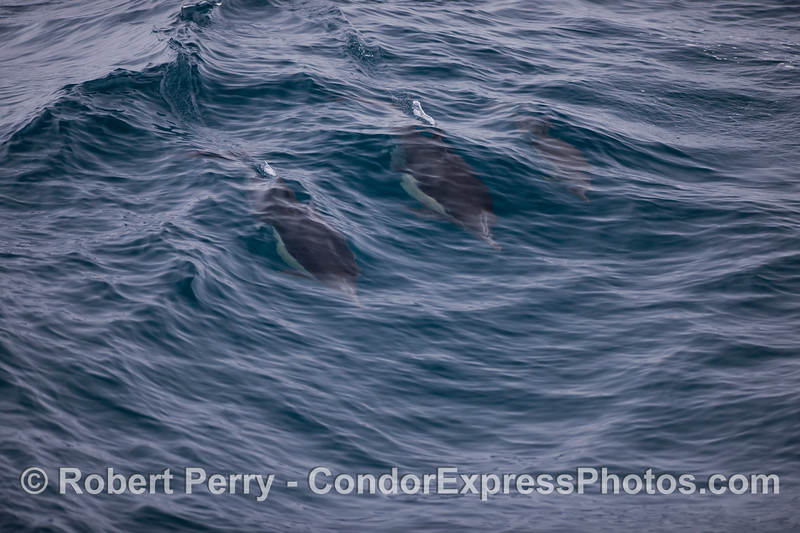 Common dolphins (<em>Delphinus capensis</em>) surfing a small wave.