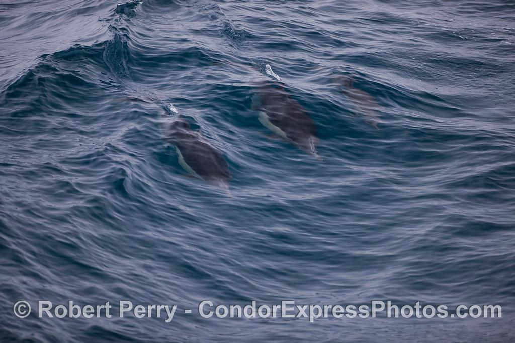 Common dolphins (<em>Delphinus capensis</em>) surfing a small wave.