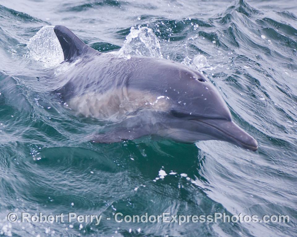 A close look at a common dolphin (<em>Delphinus capensis</em>).