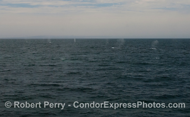 If you blow this up and look closely you may see as many as six blue whale (<em>Balaenoptera musculus</em>) spouts.