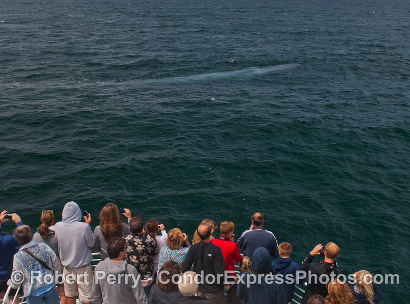 Everyone on board the Condor Express was thrilled to see this blue streak under the water which was an extremely friendly giant blue whale (<em>Balaenoptera musculus</em>).