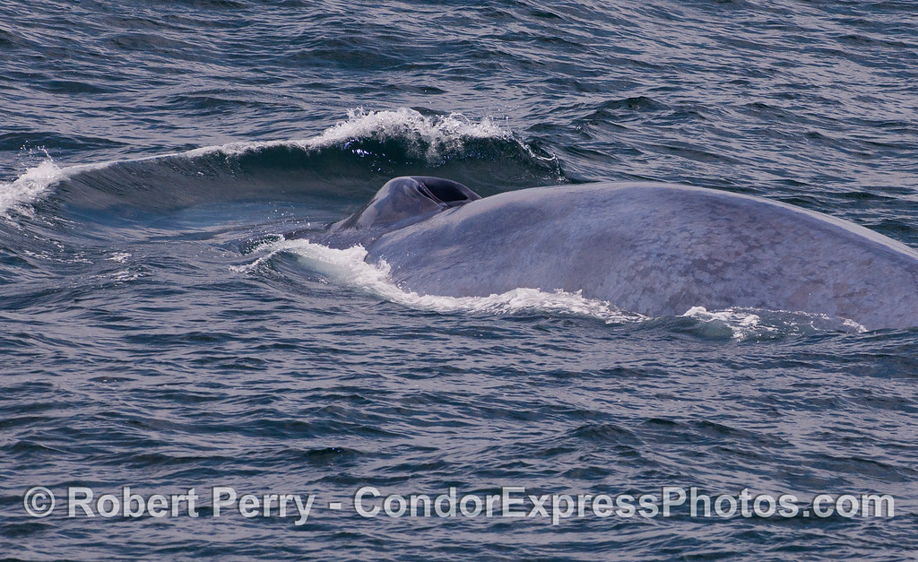 A blue whale (<em>Balaenoptera musculus</em>) pushes a bow wave ahead of its massive body.