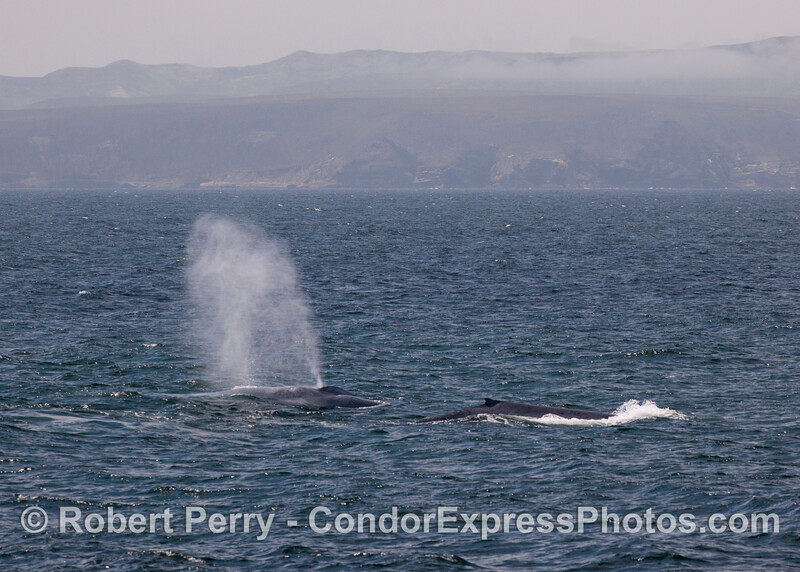 Two blue whales (<em>Balaenoptera musculus</em>) and Santa Rosa Island in back.