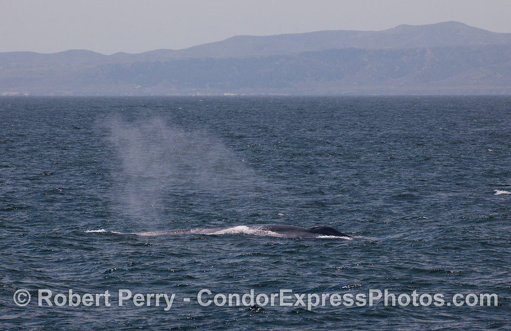 A blue whale (<em>Balaenoptera musculus</em>) runs alongside the Condor Exprss with Santa Rosa Island in the background.