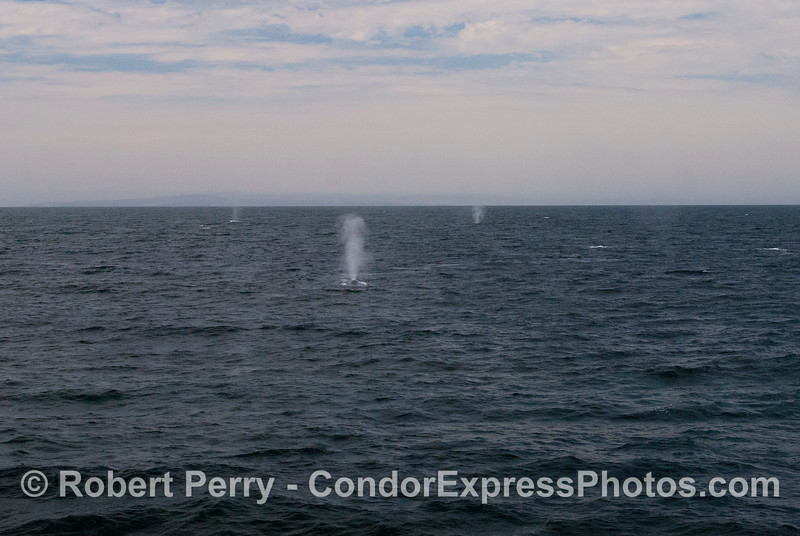 Many blue whales (<em>Balaenoptera musculus</em>) spout all over the place.