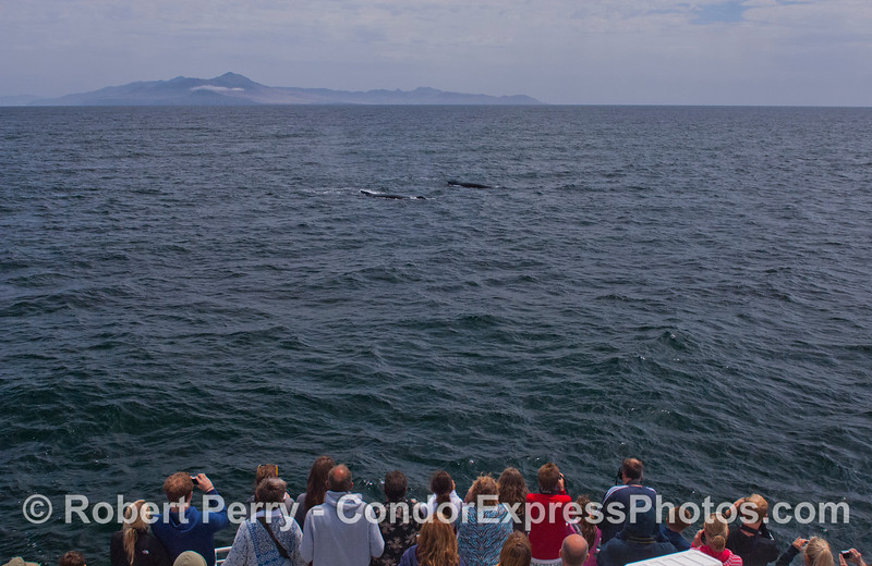 Two humpback whales (<em>Megaptera novaeangliae</em>) approach the Condor Express with Santa Cruz Island in the background.