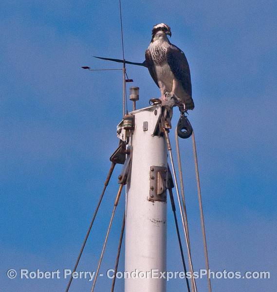 An osprey (<em>Pandion haliaetus</em>) sits atop a mast head in Santa Barbara Harbor.