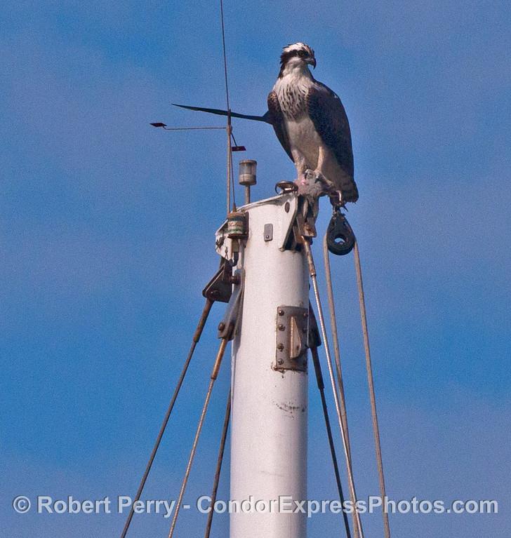 An osprey (<em>Pandion haliaetus</em>) sits atop a mast head in Santa Barbara Harbor.
