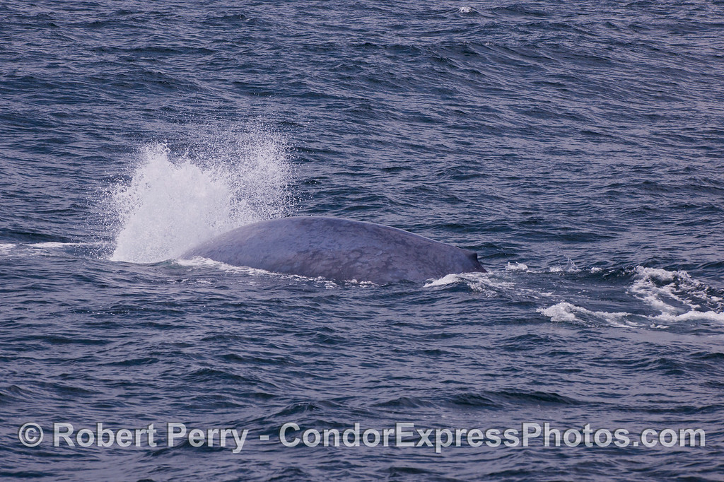 "The blue whale (Balaenoptera musculus) we call ""bubbles,"" because it always sends out this blast of air just before a deep dive."