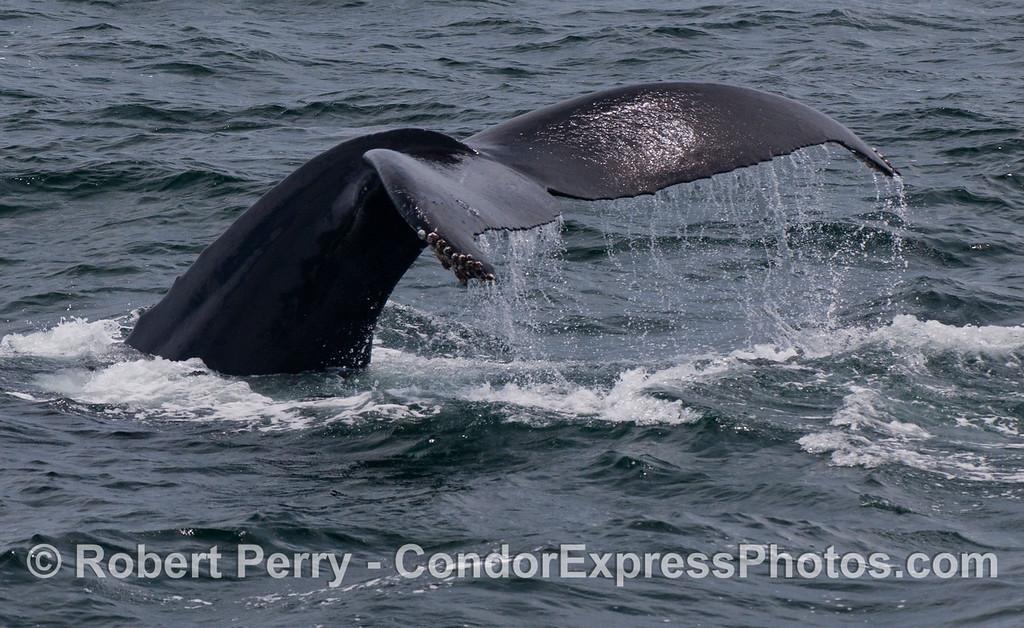 The mighty tail of a humpback whale (<em>Megaptera novaeangliae</em>).
