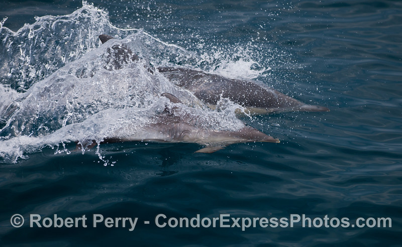 Two long-beaked common dolphins (<em>Delphinus capensis</em>), a mother and her calf.
