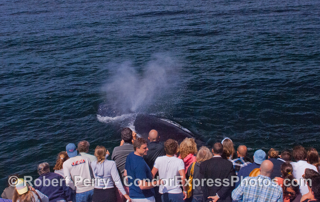 A humpback whale (<em>Megaptera novaeangliae</em>) comes up to visit the Condor Express and sprays the people with its spout.