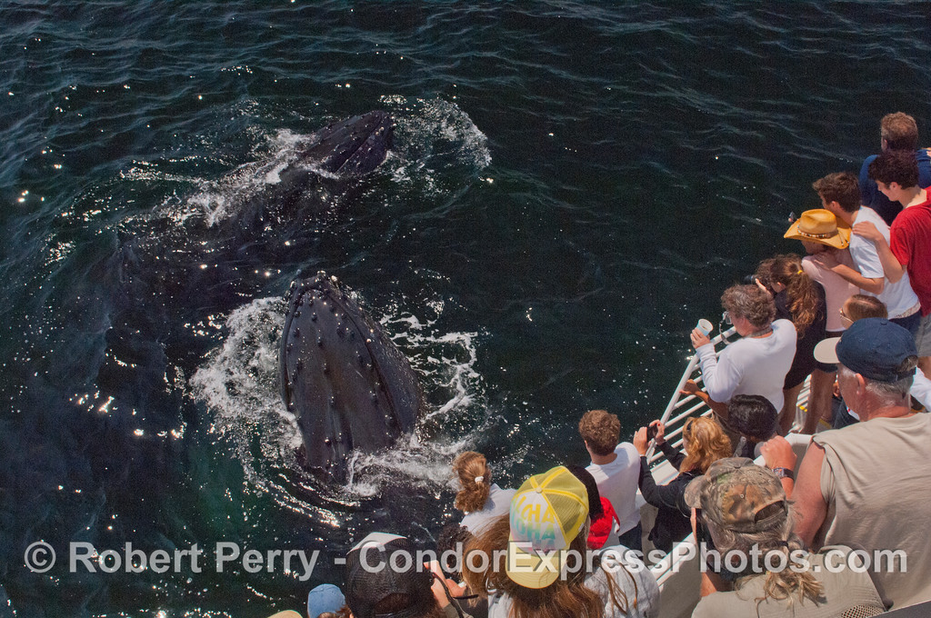 Two spy-hopping humpback whales (<em>Megaptera novaeangliae</em>) and Condor Express people.