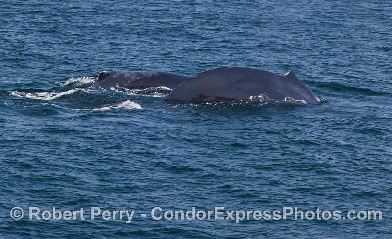 Two humpback whales (<em>Megaptera novaeangliae</em>) side by side.